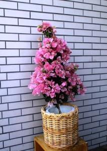 【花鉢】大きなブーゲンビリア02