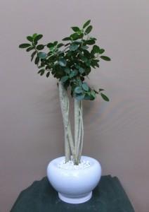 【観葉植物】変わった器に入ったガジュマルパンダ03