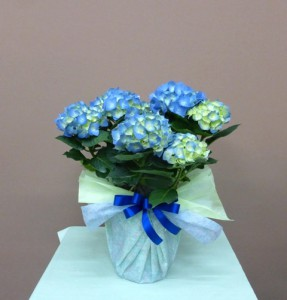母の日にブルーの美しいアジサイランティエン