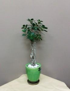 【観葉植物】変わった器に入ったガジュマルパンダ02
