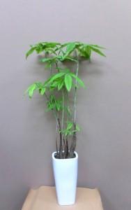 【観葉植物】スマートなパキラ
