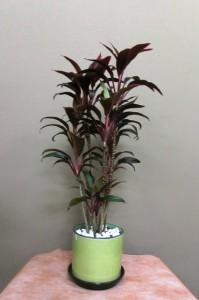 【観葉植物】ドラセナ「紅光」