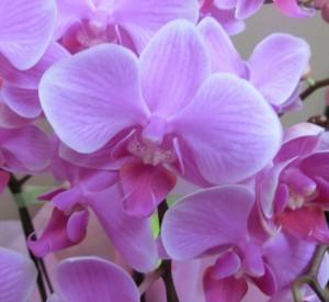 【胡蝶蘭】かわいいミニサイズ「キャンデー」02