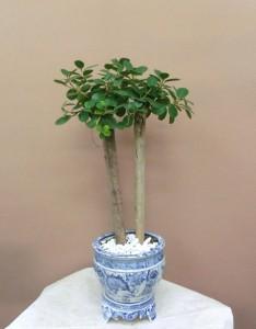 【観葉植物】変わった器に入ったガジュマルパンダ01