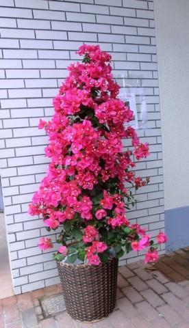 【花鉢】大きなブーゲンビリア01
