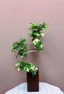 【観葉植物】シェフレラ アルボリコラ「グランディー」
