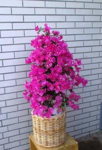 【花鉢】大きなブーゲンビリア03