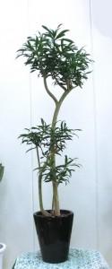 【観葉植物】葉先の美しさが特徴的な「プレオメレ・レフレクサ」