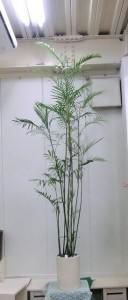 【観葉植物】とっても背の高い「セフリジー」01