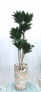 【観葉植物】新築のお祝いにオシャレな「ドラセナコンパクター」