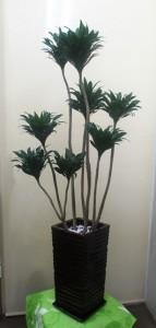 【観葉植物】立派な「ドラセナ・コンパクター」