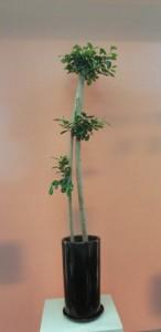【観葉植物】スラッと伸びるスマートなガジュマルパンダ02