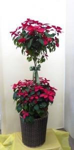 【花鉢】ウインターギフト「大きなポインセチア」
