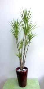 【観葉植物】スマートなドラセナ「コンシンネ ホワイボリー」