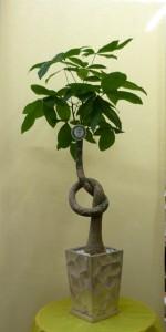 【観葉植物】新築祝いに縁起の良い「結びパキラ」
