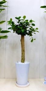 【観葉植物】白くスッキリした器とすんなりしたガジュマルパンダ