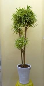 【観葉植物】コーヒーショップのオープンにすんなり涼しげな「ドラセナ・ソングオブインディアナ」