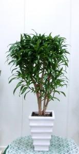 【観葉植物】新社屋移転のお祝いにドラセナ「ソングオブレキオス」