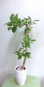 【観葉植物】変わった形のゴムの木「フィカス・アルテシーマ」01