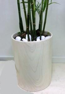 【観葉植物】とっても背の高い「セフリジー」02
