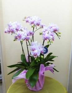 【胡蝶蘭】開店祝いにコチョウラン「春がすみ」