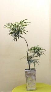 【観葉植物】立ち飲み屋さんの開店祝いにすんなり伸びた涼しげなアラレア