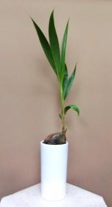 【観葉植物】サマーギフトに「ココヤシ」01