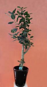 【観葉植物】長命と豊饒(ほうじょう)の木「フィカス・ベンガレンシス」