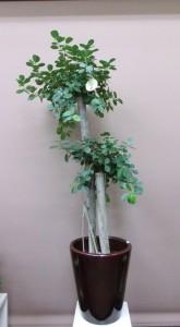 【観葉植物】鹿児島・指宿産のガジュマルパンダ-その3-