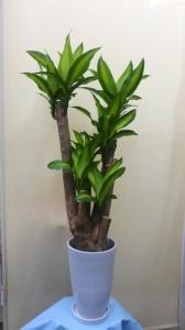 【観葉植物】幸福の木「ドラセナ・マッサンゲアナ」