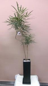 【観葉植物】年中飾っておけるアラレア(ディジゴセカ)01