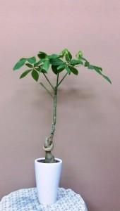 【観葉植物】縁を結ぶ、縁起の良いパキラ