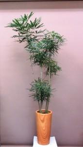 【観葉植物】新築祝いにアラレアをプレゼント♪《木目調シリーズ》
