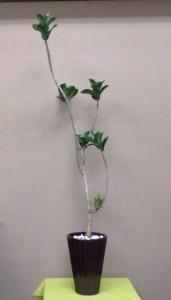 【観葉植物】ゴムの木いろいろ「ゴム」