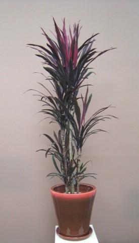 ドラセナ 赤細葉