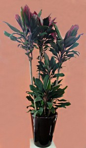 【観葉植物】非常に珍しい品種「ボレロ」をお祝いのプレゼントに。