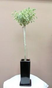 【観葉植物】スラッとして背の高いベンジャミン