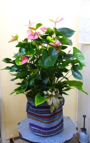 【花鉢】大きな大きなアンスリューム