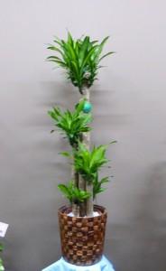 【観葉植物】大型新種「ドラセナ・マッサンゲアナ」