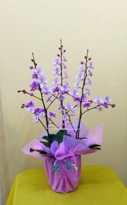 【胡蝶蘭】立姿が美しい可愛いピンク色のミニコチョウラン「リトルスプリング」