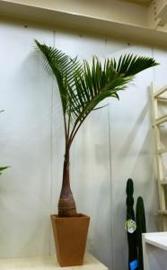 【観葉植物】お店のオープン祝いに四角い素焼き鉢に入ったトックリヤシ