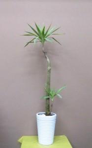 【観葉植物】ゴムの木いろいろ「斑入りユッカ」