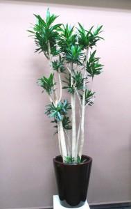 【観葉植物】新築祝いに「ドラセナ・ソングオブジャマイカ」