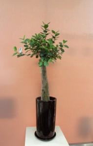 【観葉植物】スラッと伸びるスマートなガジュマルパンダ01