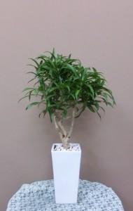 【観葉植物】新しいお家へのプレゼント「ソングオブレキオス」