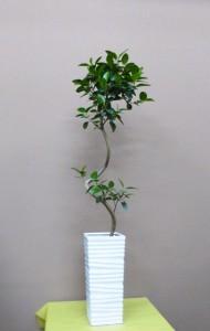 【観葉植物】ゴムの木いろいろ「フランスゴム」