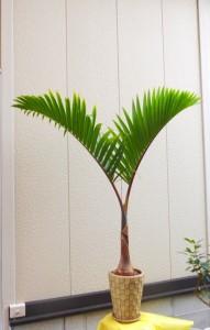 【観葉植物】暑い夏にトックリヤシ