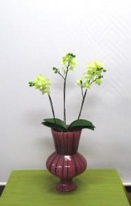 【胡蝶蘭】可愛いグリーンのコチョウラン「ソナタ」01