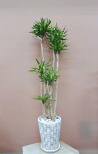 【観葉植物】枝別れしたドラセナ・リキ