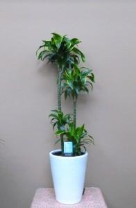【観葉植物】新種「ドラセナ・ドラド」